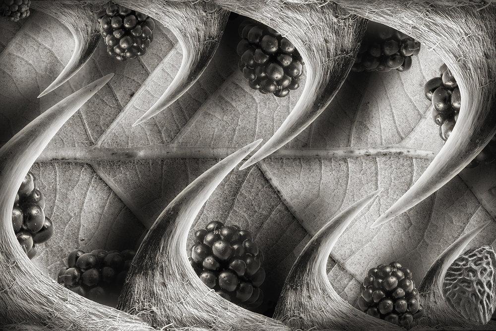 Invasive Blackberry