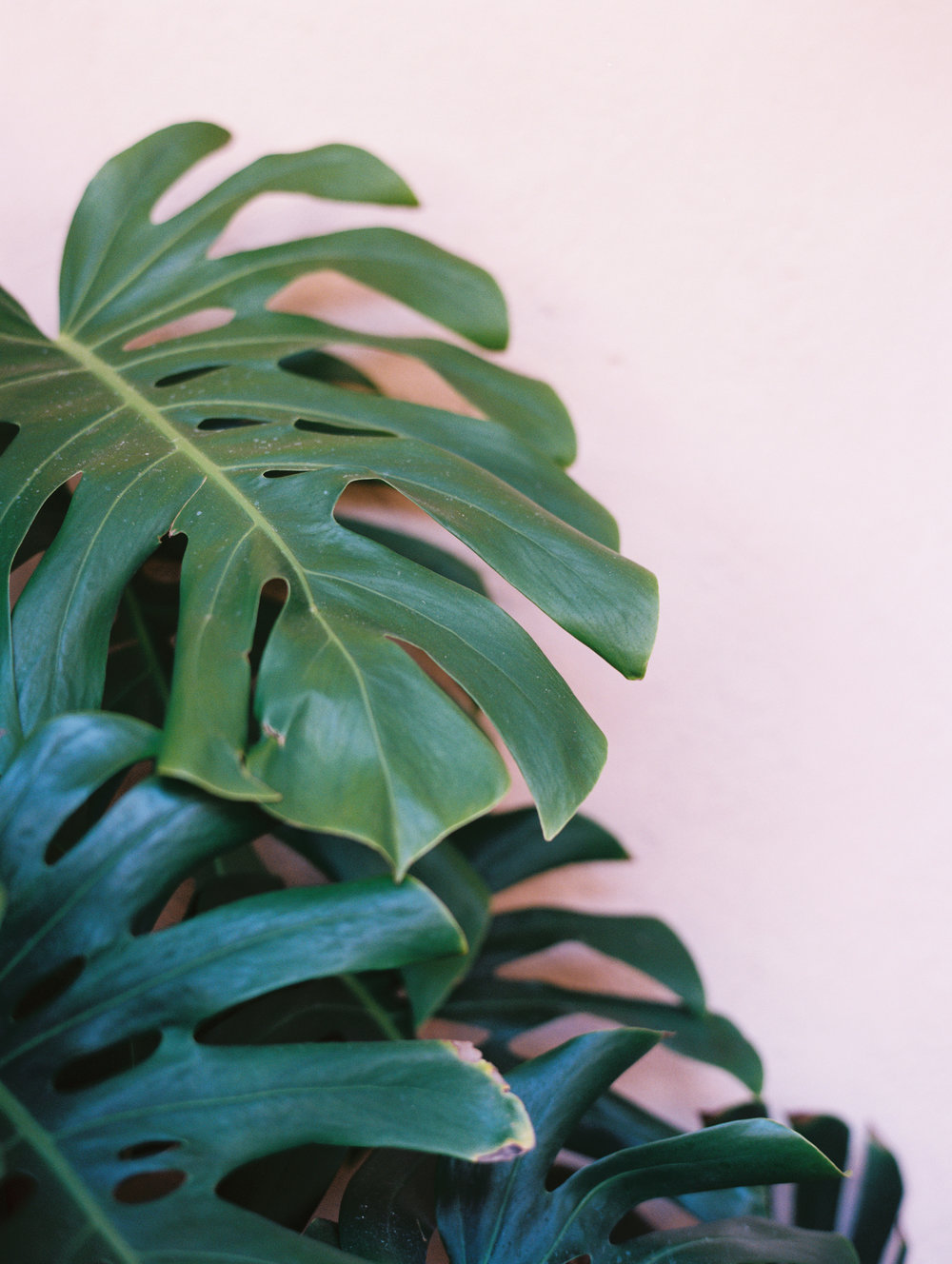 Modern Monstera Leaf