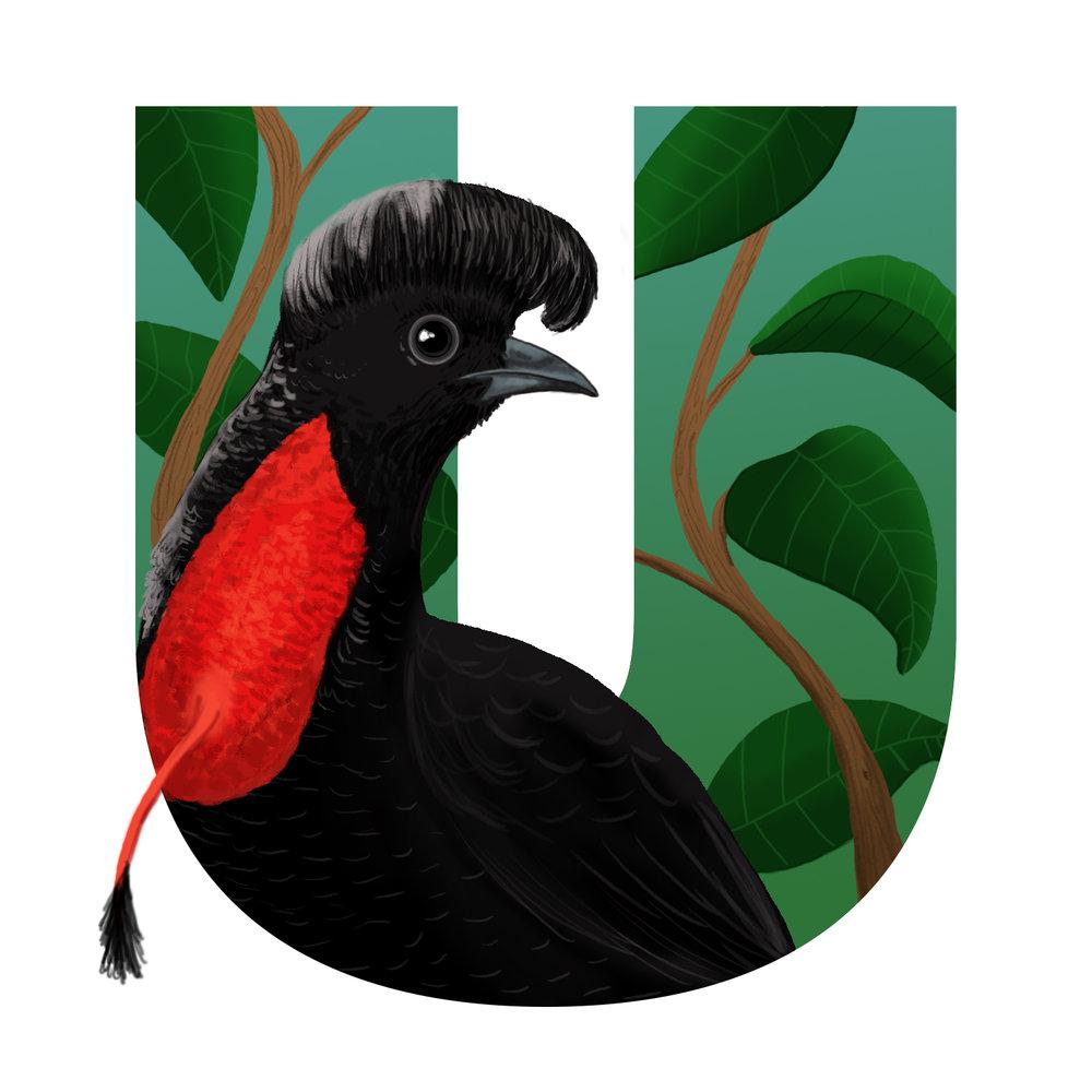 U-for-Umbrellabird-v002.jpg