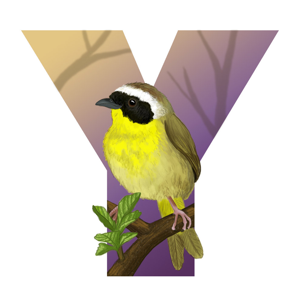 Y-for-Yellowthroat.jpg