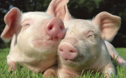 Científicos intentan desarrollar órganos humanos en cerdos