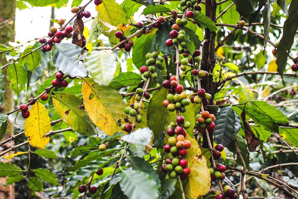 Primer día por la Sierra del Café   |Foto:  @alejandrism | Edición:  @mauchavezgg