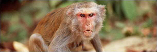 rhesus monkey angry