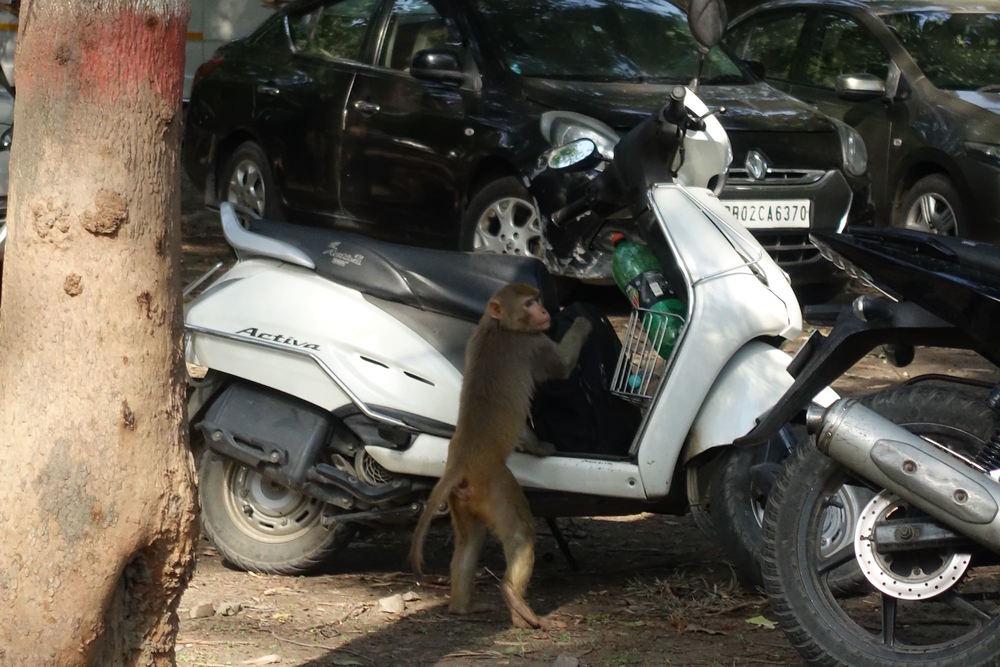 monkey on a scooter