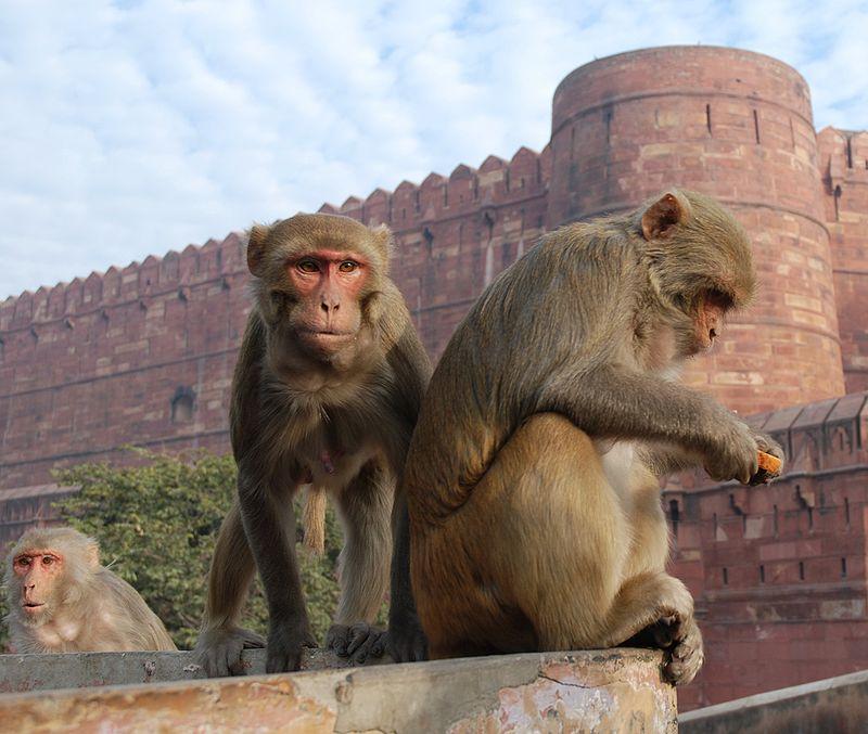 rhesus monkey red fort