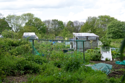 Vegetable allotments in Woodhouse Moor. Photo: Andrew Howdle