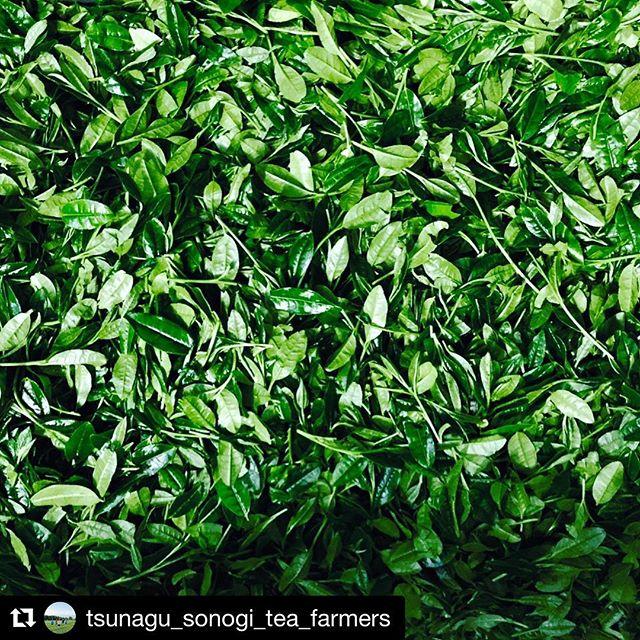 Harvest looking good! @tsunagu_sonogi_tea_farmers ・・・ ツナグソノギティーファーマーズの3番手、#no3 #tsuyu 被覆期間11日間、摘採日5月3日、作り手は大山製茶園の大山良貴 #ooyamaseichaen #ooyamayoshitaka 定植から6年目で中刈り更新したツユヒカリは、樹勢も強く芽重型の芽が立ち、深蒸しして時間をかけて揉み込みました。甘めのsoulでも聴きながら飲んでもらえたらなーなんて思い、Marvin Gayeなんか聞きながら作ったお茶です♬ #fivesenses #tsunagusonogiteafarmers #sonogitea #tsuyuhikari #ooyamaseichaen #tamaryokucha #brandnew_tea #sonogi #greentea #japanese_tea #sweetsoul