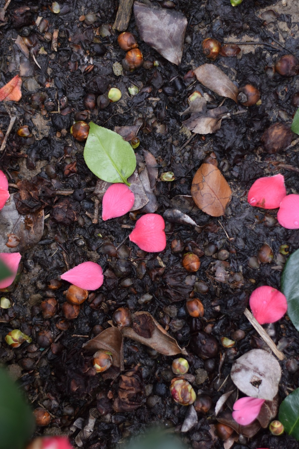 Some CAMELLIA PETALS, I love how they look bright and full of life on this muddy ground.
