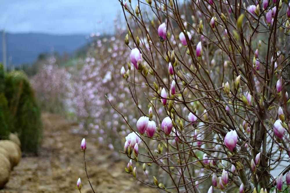 MAGNOLIAS shrubs