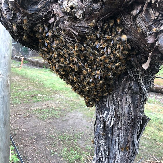 First #swarm of the season for me... a little one hanging in some table grape vines. . . . #beehive #nucleus #nuchive #startbeekeeping #beekeeping #honeybee #apismellifera #superqueen #southwestbees #honey #honeyflow #beekeeper #margaretriver #margaretriverregion #margaretriverhoney #themargaretriverhoneyco #bestbees #lovemyjob #beesting #bees #bee #honeys #springtime