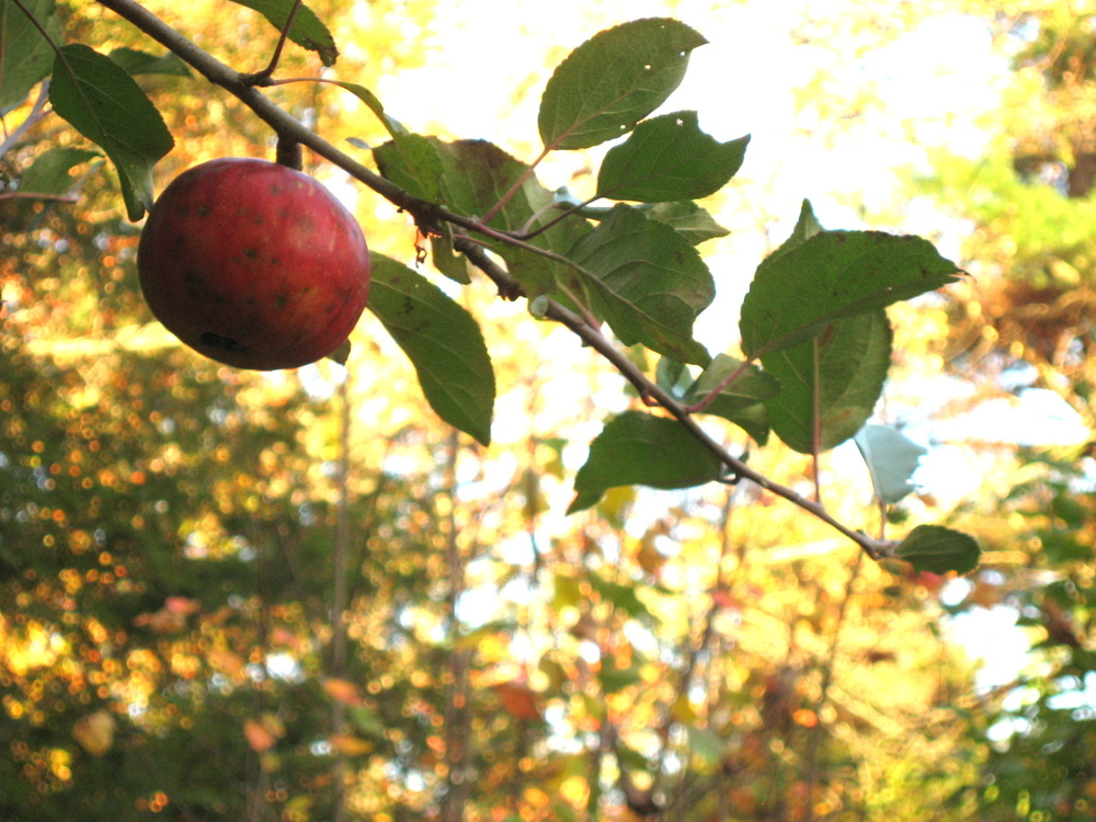 fall apple