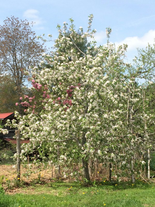 Our Trailman tree in bloom. You can make out the one branch of red-fleshed RedFree, which has pink blossoms. This tree sits right outside our main garden.