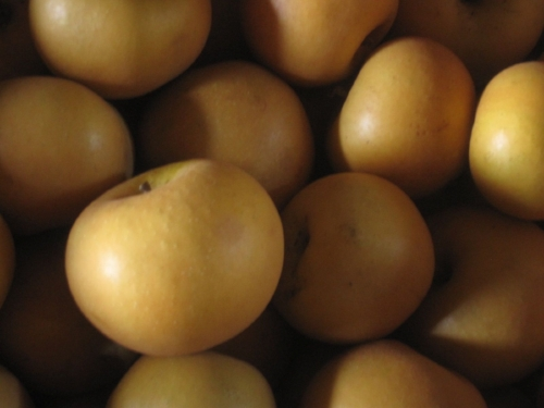 Golden Russets – entirely russeted!