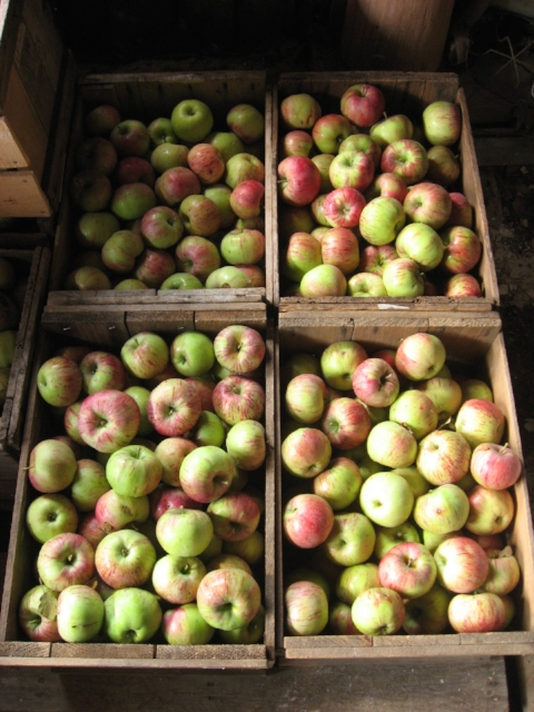 St. Lawrence apples waiting to be packed up.