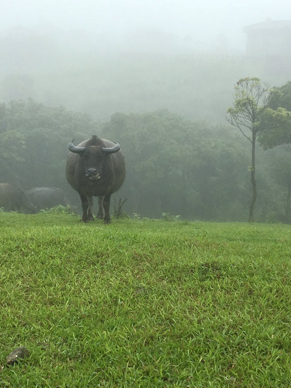 Cow in Taiwan Yangmingshan