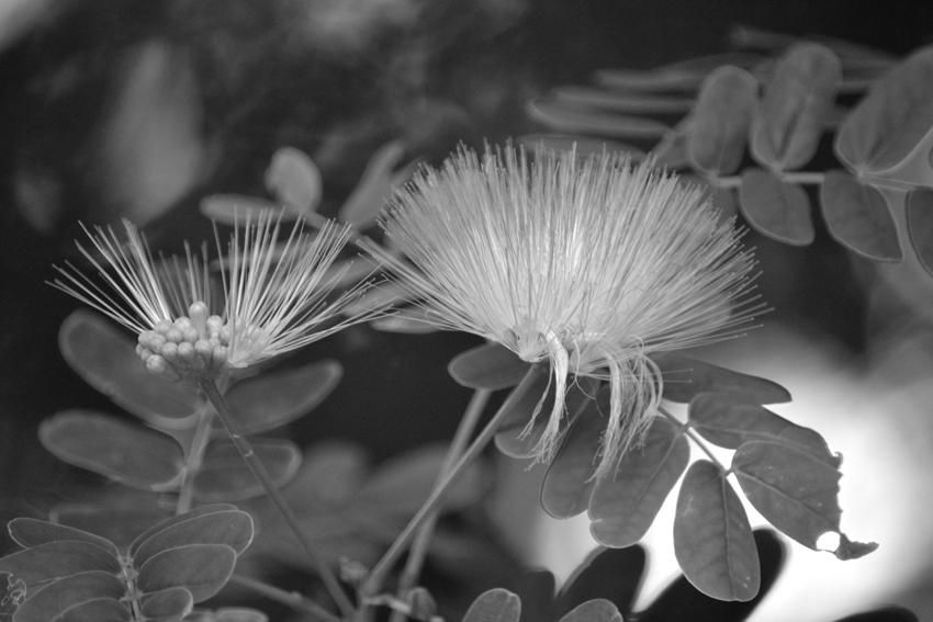 explorér la flore mauricienne sur la montagne du Morne: bois puant-foetidia mauritiana