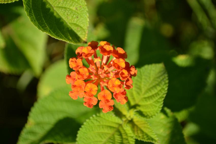 lantana camara, une des fleurs endémiques sur la montagne du Morne à l'Ile Maurice
