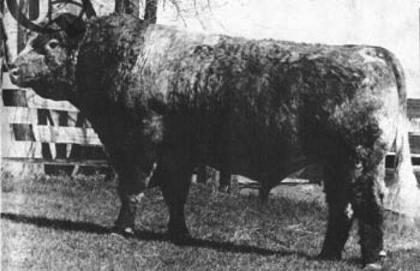 "Boa Kae ""Royal Oak"".  B--4/14/1963.  One of bulls used in our AI program."