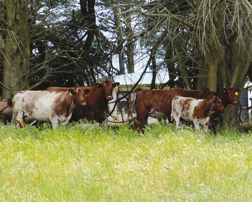 Brood cows at David & Marion Spencer's Farm