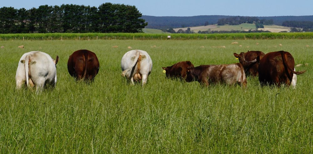 Abundant Grass! Brood Cows at Ken Tippett's Farm