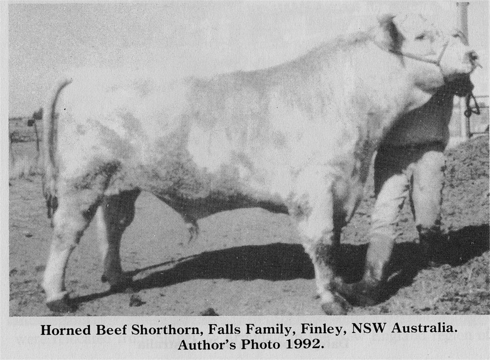 Horned Beef Shorthorn-- Falls Family, NSW Australia