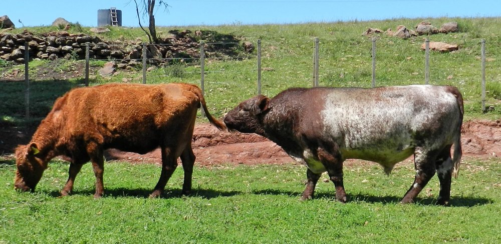 Shorthorn Bull (range conditions) in Uruguay