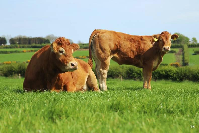 Traditional Limousin Coloration