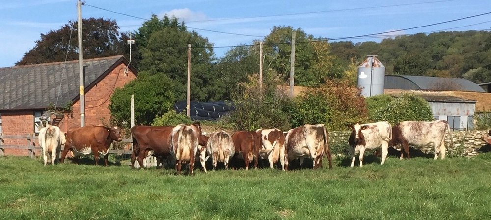 Shorthorn Dairy cows
