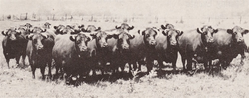 Shorthorn Herd, 1930