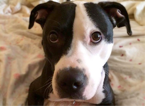 Now Picasso, a 10-month-old pit bull-corgi mix who was rescued from a  high-kill animal shelter in Southern California, is an international  celebrity.
