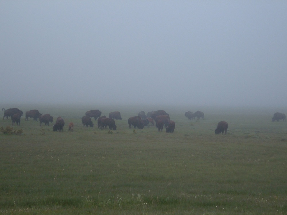 Yellowstone bison eating breakfast in the mist.