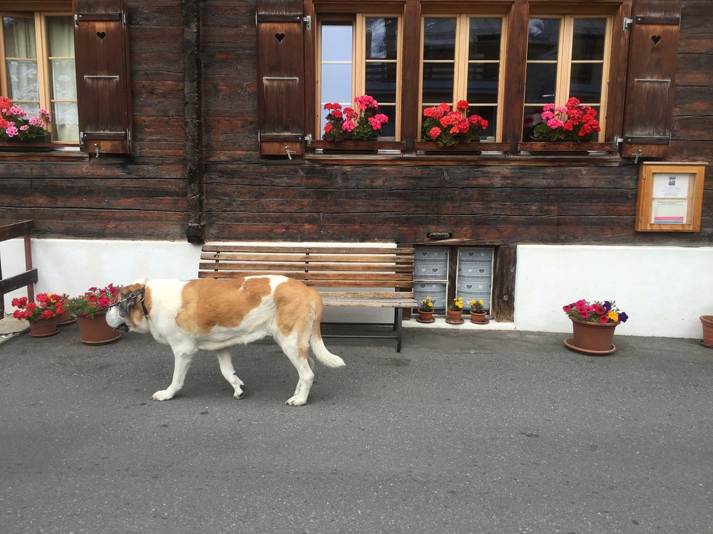 We saw the same dog walking a day later in Mürren, Switzerland. His prospects were definitely looking up.
