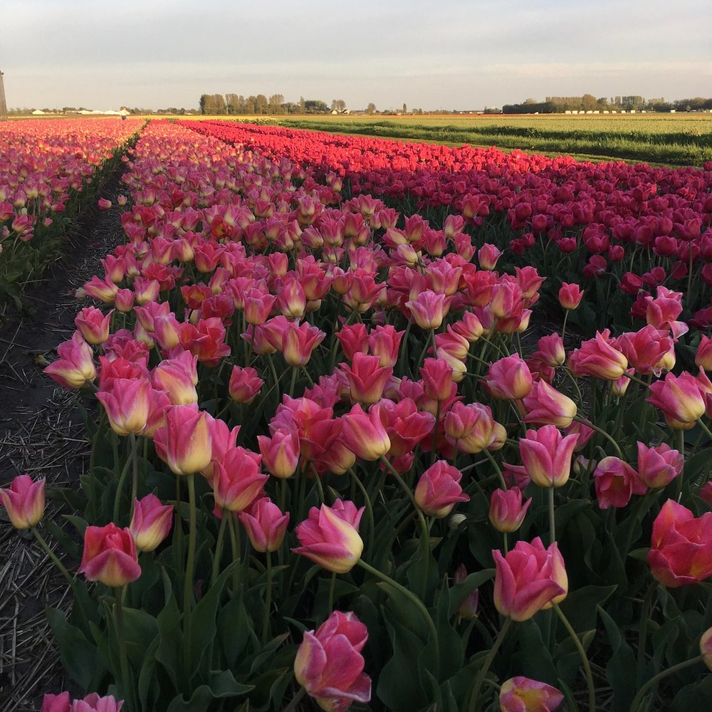 Tulips in the Dutch countryside