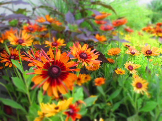 Sun Lover Perennials