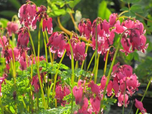Perennial beauty the farmers daughter shade lover perennials mightylinksfo