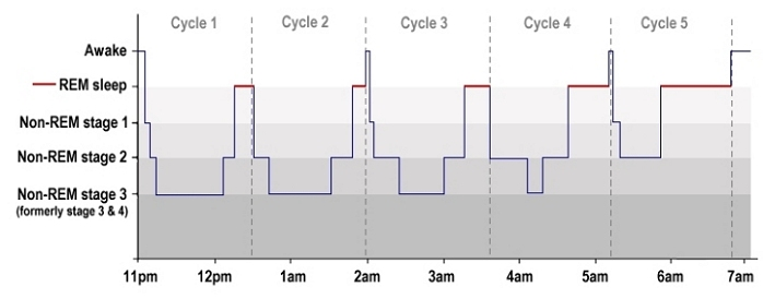 Sleep Architecture: The Stages of Sleep throughout the night