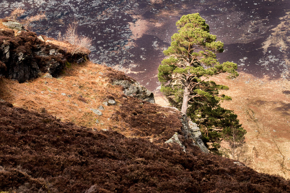 A lone Caledonian Pine, the only green against a muted background.