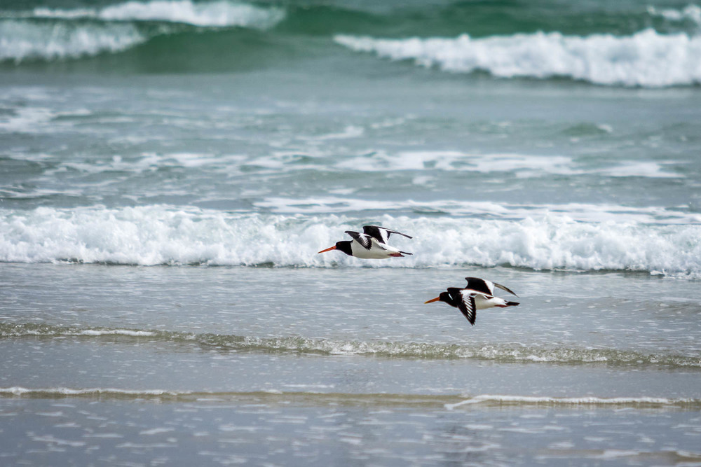 Oyster Catchers carrying out a bit of wave running.