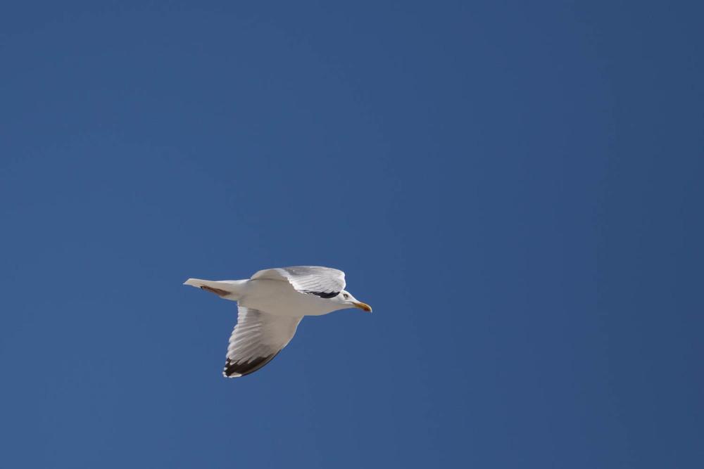 A lone Gull under a clear blue sky.