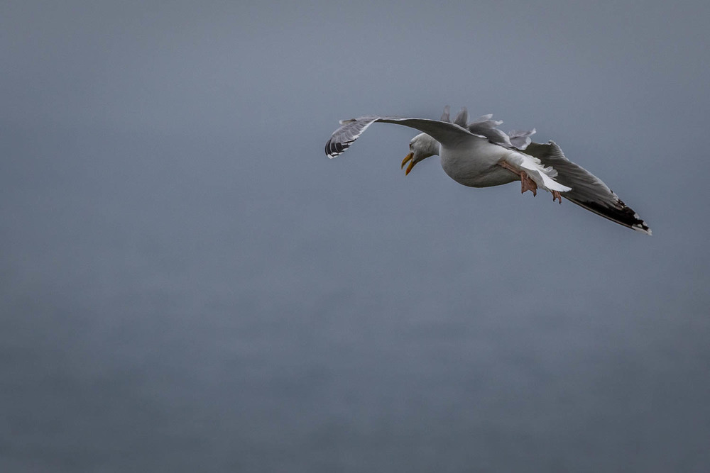 Herring Gull (or Scurry) enjoying the breezy conditions.