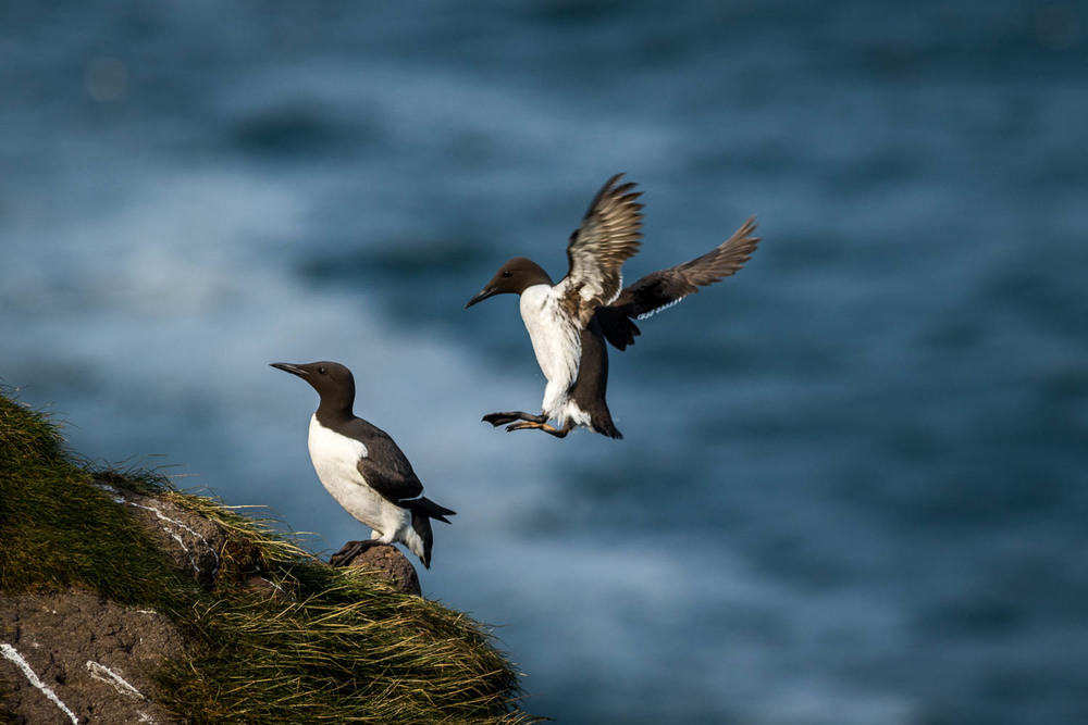 An incoming Guillemot makes an approach.