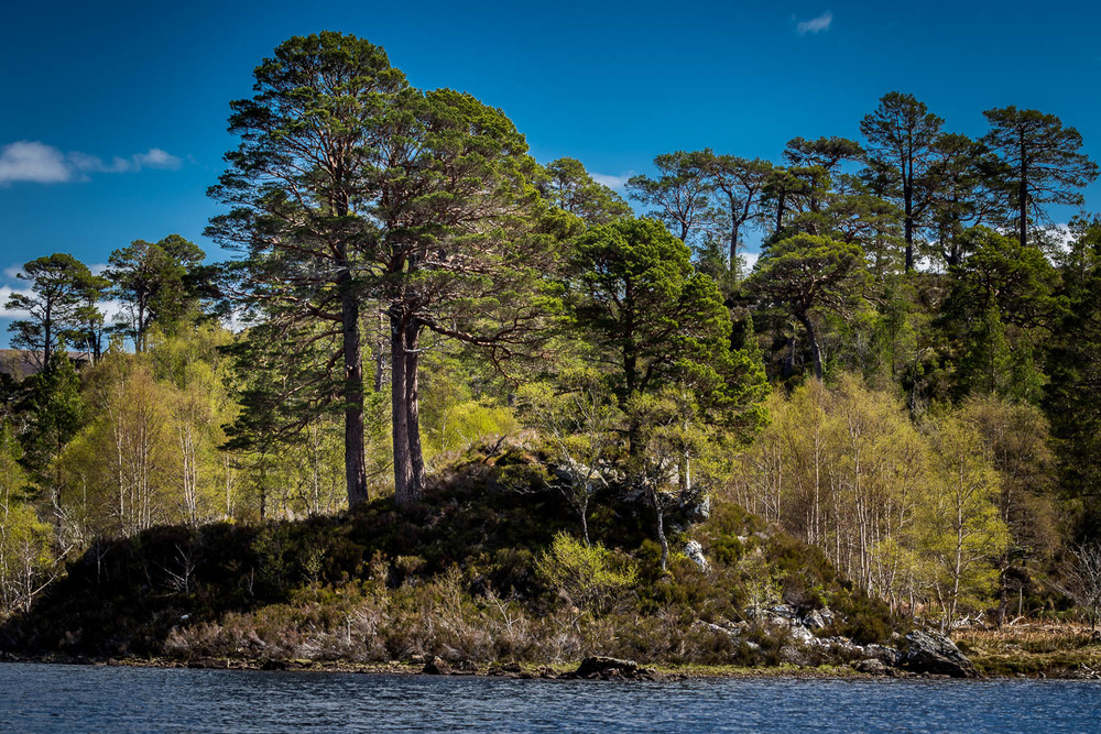 The Scots Pines that line the southern banks of the River Affric.