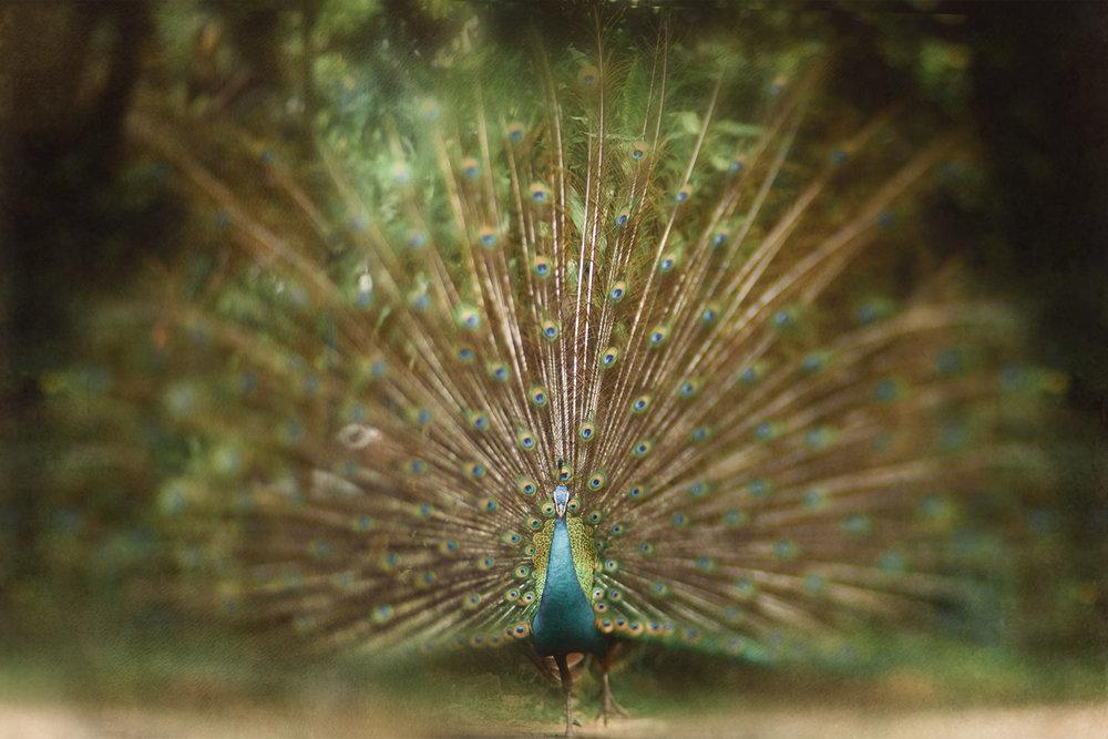 a peacock at Kuala Lumpur Bird Park