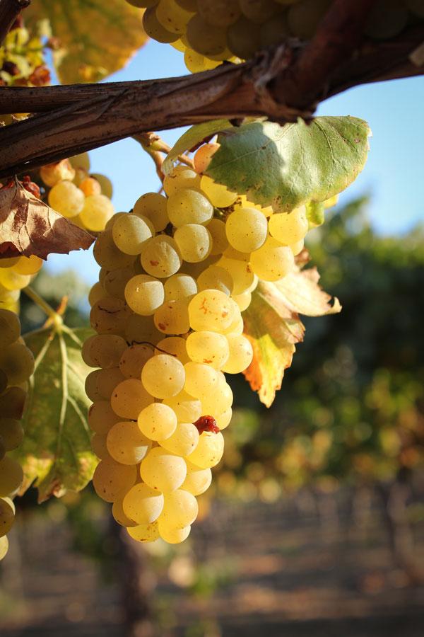 pcp-media-winery-grapes.jpg