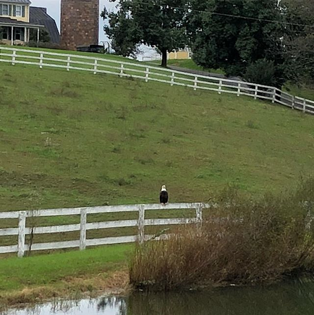 Today's brush with wildlife- huge Bald Eagle surveying a pond on the way to an Open House.  She didn't like me getting out of the car. #realtorlife #baldeagle #eagle #loudoun #waterford