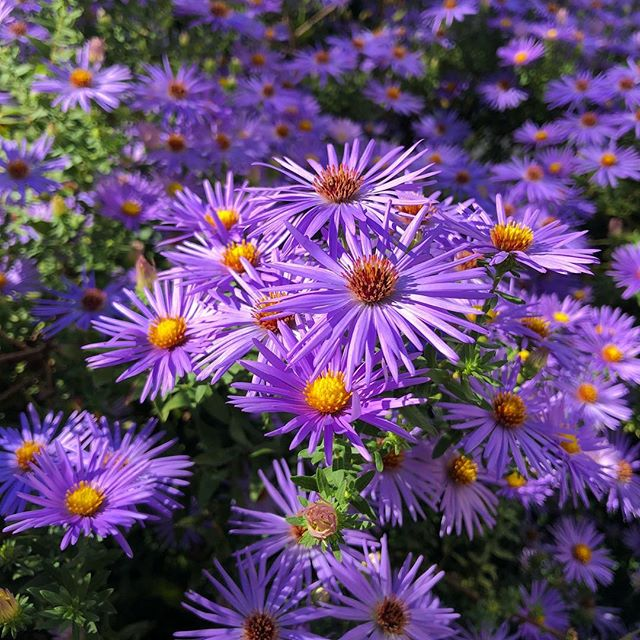Asters- one of the best parts of fall. #asters #flowers #fall #autumn #beautyeverywhere #leesburg #loudouncounty