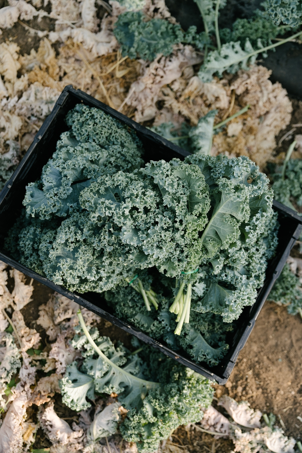 Jimena-Peck-Denver-Lifestyle-Editorial-Photographer-Native-Hill-Farm-The-Veggies-Harvested-Kale