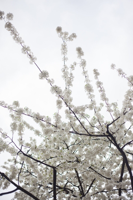 Jimena Peck Denver Lifestyle Editorial Photographer Cherry Tree Flowers