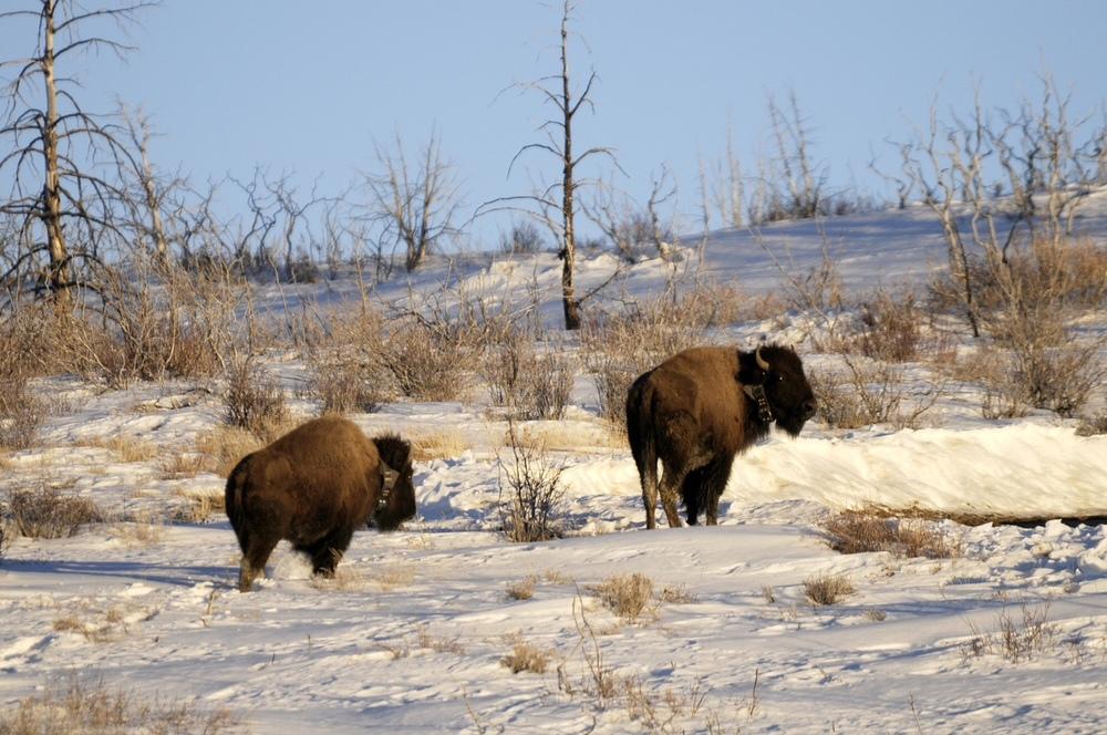 New Herds of Wildlife