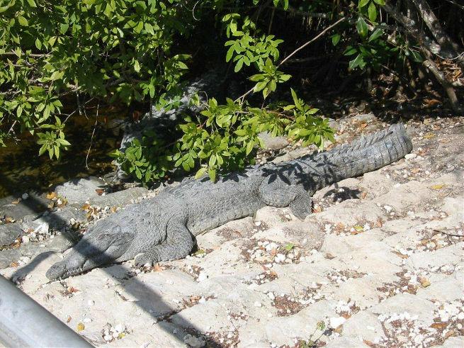 Saltwater Croc.jpg